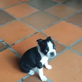 Se vende cachorra Boston terrie