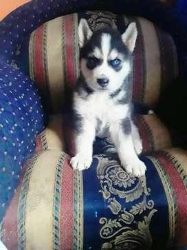 Husky siberiano a la venta
