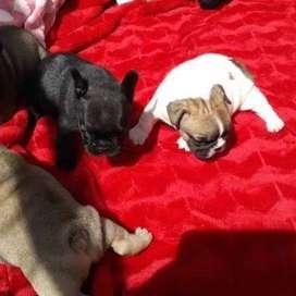 cachorritos hermosos y barrigones bulldog frances de 45 dias certificados por veterinario y vacunados