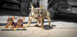 Servicio de stud bulldog frances blue and tan quad carrier