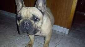 Bulldog francés hembra con papeles de la federación