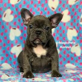 Macho Blue de Bulldog Frances, cachorros de 66 dias de edad.