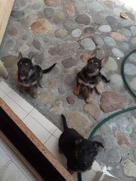 Vendo perros Pastor Alemán  de 45 días