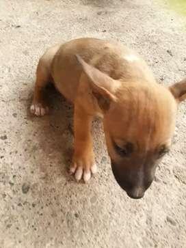 Cachorro bull terrier MINI