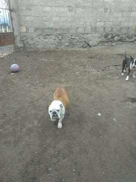 Hermosa bulldog ingles de 2 años de edad