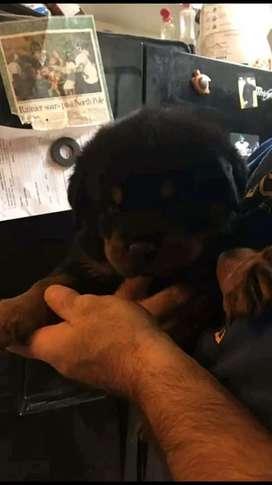 Última cachorra Rottweiler genética Alemana