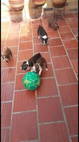 Lindos Boston terrier