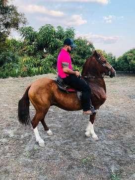 Caballo Trocha pura Colombiana