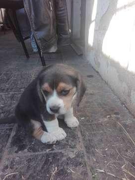 Bendo cachorro beagle