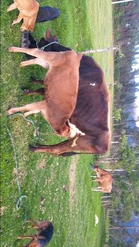 Oportunidad Vaconitas Jersey y Toro reproductor Holstein