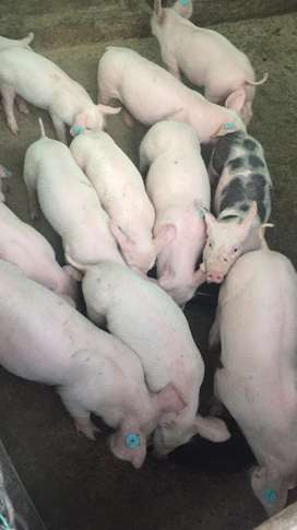 Vendo cerdos raza doble jamon en pie