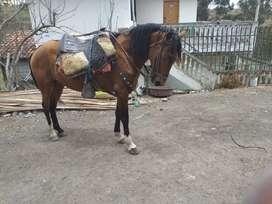 Dos caballos por 1300 Anglo árabe
