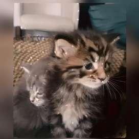 Hermoso gato maine coon