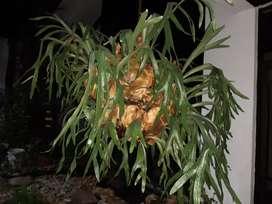 Planta mata Platicero grande hermoso sevende