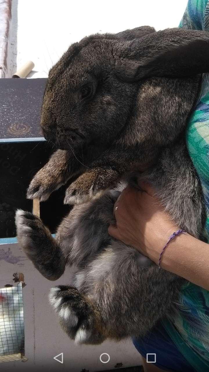 Conejo reproductor, raza Gigante de Flandes 11 meses 0
