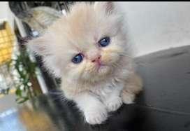 Gato persa bebé