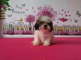Cachorra hermosa shitzu mini