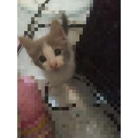 Se da en adopción hermoso gatito