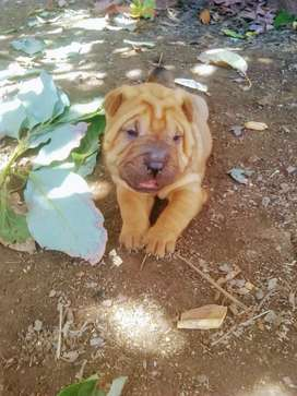 Cachorros shar peis disponibles