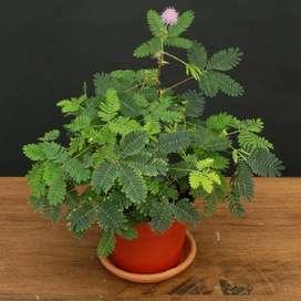 Mimosa planta.