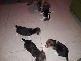 Vendo hermosos beagle de muy buena genetica