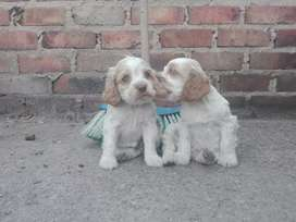 Hermosos cocker spaniel bicolor puros