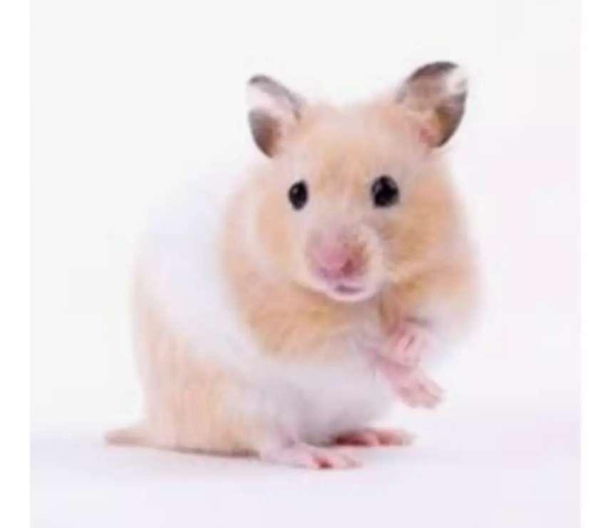 Hamster  económicos 0
