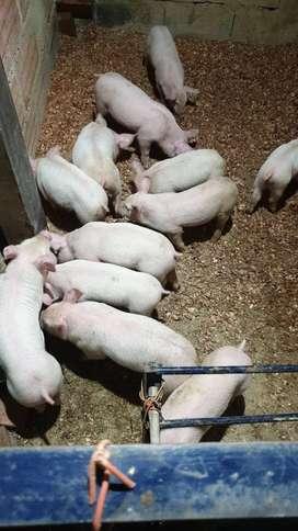 Cerdos recién destetados para en gorde y cerdos listos de el peso que quiera