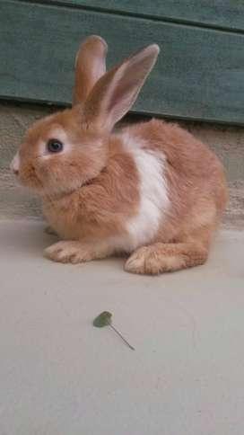 conejos (mascota) 2 meses de edad