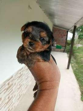 Lo más lindo mini yorkshire terrier