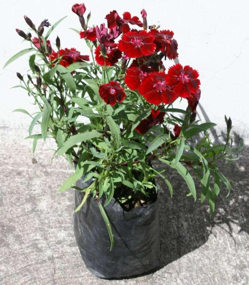 Clavelina planta. 0
