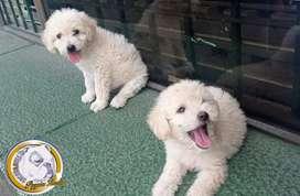 French poodle mini toy hembra y macho dos meses