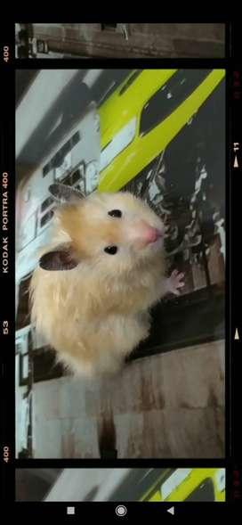 Vendo hámsters americanos ica-perú