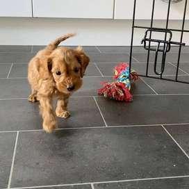 Cachorros disponibles de 49 días de nacidos con certificados veterinarios