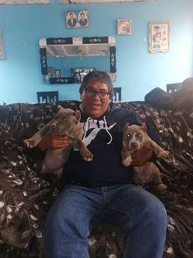 Venta de cachorros american bully fucion