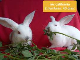Conejos rex california