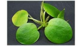 Planta Para Acuarios O Estanques (limnobium Laevigatum)