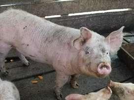 Vendo cerdo