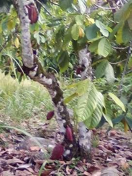 Se vende finca en el playon tiene cacao y potreros agua propia mide 62 hectáreas