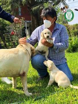 Labrador Retriever Bellos en Pet Vital