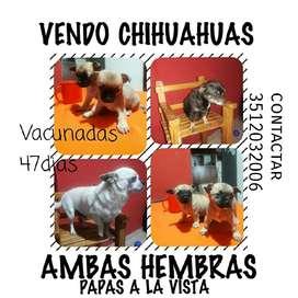 Chihuahuas Hembras
