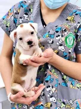 Boxer cachorros en Pet Vital