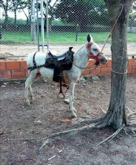 Vendo mula pony