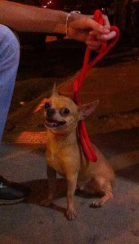Chihuahua Mexicano, Busca Novias.