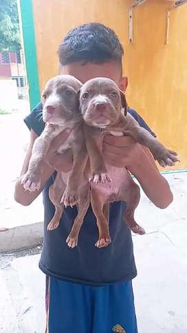 Cachorros pitbull ( macho y hembras )