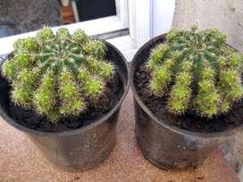 Cactus echinopsis oxigona maceta 9