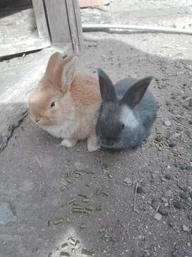Conejos lop enanos.