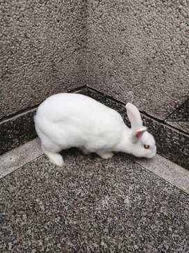 Se vende  conejo blanco