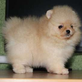 hermosos cachorros de 48 dias con certificado de pureza pomerania
