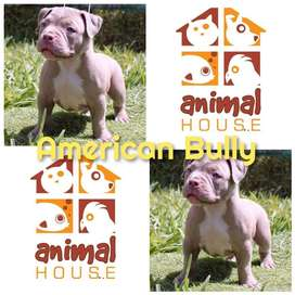 American Bully Referencia 34